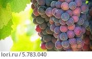 Купить «Созревающие гроздья винограда», видеоролик № 5783040, снято 23 мая 2018 г. (c) Александр Устич / Фотобанк Лори