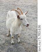 Купить «Белая коза», фото № 5783636, снято 27 июля 2010 г. (c) Наталья Волкова / Фотобанк Лори