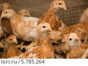 Купить «Коричневые цыплята в клетке. Птицефабрика», фото № 5785264, снято 17 марта 2013 г. (c) Олег Хархан / Фотобанк Лори