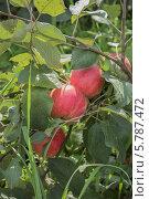 Купить «Яблоко на ветке, сорт Мантет», фото № 5787472, снято 1 сентября 2012 г. (c) Александр Самолетов / Фотобанк Лори