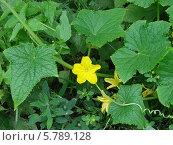 Купить «Огурец цветущий», фото № 5789128, снято 12 июля 2011 г. (c) Гнездилова Кристина / Фотобанк Лори
