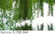 Купить «Свисающие над прудом ветви ивы», видеоролик № 5790344, снято 22 июля 2019 г. (c) Александр Устич / Фотобанк Лори