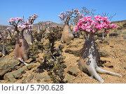 Плато Муми, остров Сокотра в Йемене, бутылочные деревья (2014 год). Стоковое фото, фотограф Овчинникова Ирина / Фотобанк Лори