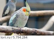Попугай нимфа корелла (Nymphicus hollandicus) Стоковое фото, фотограф Юлия Кузнецова / Фотобанк Лори