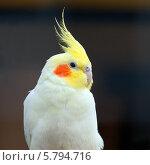 Попугай корелла (Nymphicus hollandicus) Стоковое фото, фотограф Юлия Кузнецова / Фотобанк Лори