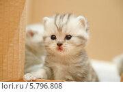 Купить «Шотландский вислоухий котенок», фото № 5796808, снято 28 ноября 2013 г. (c) Ксения Крылова / Фотобанк Лори