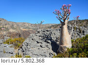 Плато Диксам, бутылочное дерево, Йемен, остров Сокотра, (2014 год). Стоковое фото, фотограф Овчинникова Ирина / Фотобанк Лори