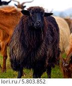 Купить «Черная овца в стаде», фото № 5803852, снято 25 октября 2013 г. (c) Эдуард Кислинский / Фотобанк Лори