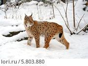 Купить «Рысь в лесу зимой», фото № 5803880, снято 22 января 2014 г. (c) Эдуард Кислинский / Фотобанк Лори