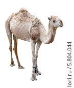 Верблюд дромадер. Стоковое фото, фотограф Олег Прокофьев / Фотобанк Лори