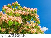 Купить «Цветущее дерево акации», фото № 5809124, снято 25 июня 2013 г. (c) Анастасия Золотницкая / Фотобанк Лори