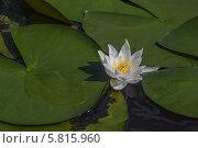 Купить «Белая водная лилия», фото № 5815960, снято 20 августа 2013 г. (c) Александр Самолетов / Фотобанк Лори