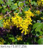 Купить «Цветы смородины золотистой», эксклюзивное фото № 5817256, снято 16 апреля 2019 г. (c) Blekcat / Фотобанк Лори