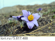 Первые цветы. Стоковое фото, фотограф Александр Бураков / Фотобанк Лори