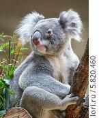 Купить «Коала / Koala bear», фото № 5820460, снято 22 ноября 2007 г. (c) Serg Zastavkin / Фотобанк Лори