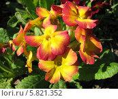 Купить «Примула - Primula», фото № 5821352, снято 2 июня 2013 г. (c) Беляева Наталья / Фотобанк Лори