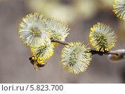 Купить «Пчела обследует распустившиеся почки вербы», фото № 5823700, снято 18 апреля 2014 г. (c) Юрий Кирсанов / Фотобанк Лори