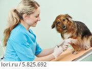 Купить «Ветеринар осматривает собаку», фото № 5825692, снято 17 апреля 2014 г. (c) Дмитрий Калиновский / Фотобанк Лори