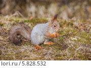 Купить «Рыжая белка ест орех», фото № 5828532, снято 5 апреля 2014 г. (c) Литвяк Игорь / Фотобанк Лори