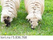 Купить «Две овцы щиплют свежую траву», фото № 5836768, снято 12 апреля 2014 г. (c) Ольга Марк / Фотобанк Лори