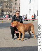 Выставка собак в Барнауле,Азия-2014,бордоский дог. Редакционное фото, фотограф Татьяна Лукьянова / Фотобанк Лори