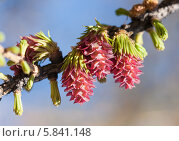Купить «Ветка лиственницы весной», фото № 5841148, снято 24 апреля 2014 г. (c) Argument / Фотобанк Лори