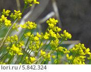 Желтые цветы на поляне. Стоковое фото, фотограф Зацепина Галина / Фотобанк Лори
