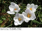 Первые весенние цветы - крокусы. Стоковое фото, фотограф Наташа Антонова / Фотобанк Лори