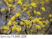 Цветение дерена мужского, или кизила по весне. Стоковое фото, фотограф Наташа Антонова / Фотобанк Лори