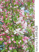 Купить «Ветка яблони, усыпанная цветами, на фоне цветущего дерева», эксклюзивное фото № 5849828, снято 27 апреля 2014 г. (c) Svet / Фотобанк Лори
