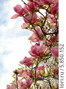Цветение магнолий. Стоковое фото, фотограф Наталия Тихонова / Фотобанк Лори