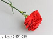 Красная гвоздика на сером фоне. Стоковое фото, фотограф Алексей Карпов / Фотобанк Лори