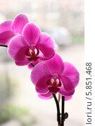Фиолетовая орхидея (фаленопсис) Стоковое фото, фотограф Александра Полупанова / Фотобанк Лори