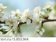 Купить «Цветущая вишня», фото № 5853964, снято 28 апреля 2014 г. (c) Ткачёва Ольга / Фотобанк Лори