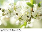 Купить «Цветущая вишня», фото № 5853972, снято 28 апреля 2014 г. (c) Ткачёва Ольга / Фотобанк Лори