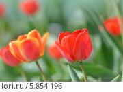 Красивые красные цветы тюльпаны. Стоковое фото, фотограф Михаил Бессмертный / Фотобанк Лори
