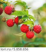 Ягоды малины на ветке. Стоковое фото, фотограф g.bruev / Фотобанк Лори