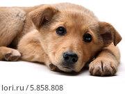 Собака лежит на белом фоне. Стоковое фото, фотограф Ирина Еськина / Фотобанк Лори