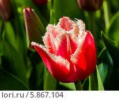 Купить «Красный сортовой тюльпан крупным планом растёт на клумбе», эксклюзивное фото № 5867104, снято 1 мая 2014 г. (c) Игорь Низов / Фотобанк Лори