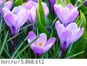 Купить «Весенние фиолетовые крокусы», фото № 5868612, снято 28 марта 2014 г. (c) Юрий Брыкайло / Фотобанк Лори