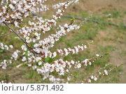 Цветущая вишня. Стоковое фото, фотограф Елена / Фотобанк Лори
