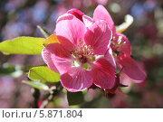 Крупно соцветие на яблоне Недзвецкого. Стоковое фото, фотограф Наташа Антонова / Фотобанк Лори