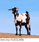Купить «Черно-белая коза на острове Фуэртевентура, Канарские острова», фото № 5872896, снято 10 января 2012 г. (c) Аnna Ivanova / Фотобанк Лори