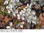 Купить «Белые цветы вишни на ветке», эксклюзивное фото № 5873180, снято 30 апреля 2014 г. (c) lana1501 / Фотобанк Лори