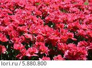 Цветущие тюльпаны сплошным полем. Стоковое фото, фотограф Ольга Коцюба / Фотобанк Лори