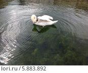 Купить «Лебедь чистит перья», фото № 5883892, снято 16 апреля 2014 г. (c) Светлана Голубкова / Фотобанк Лори