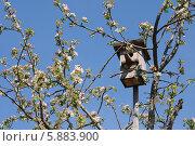 Купить «Скворечник на цветущей яблоне», эксклюзивное фото № 5883900, снято 8 мая 2014 г. (c) Юрий Морозов / Фотобанк Лори