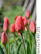 Красные тюльпаны. Стоковое фото, фотограф Александр Хорхордин / Фотобанк Лори