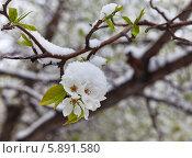 Купить «Цветущая яблоня в снегу. Весенняя непогода», фото № 5891580, снято 7 мая 2014 г. (c) Виктория Катьянова / Фотобанк Лори