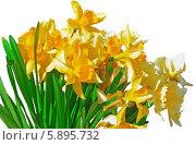 Купить «Желтые нарциссы на белом фоне», фото № 5895732, снято 9 мая 2014 г. (c) Agnes Chvankova / Фотобанк Лори